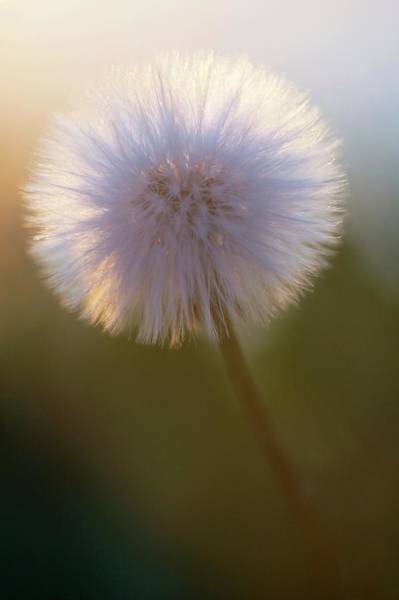 Taraxacum Photograph - Dandelion Seed Head (taraxacum Sp.) by Manuel Presti/science Photo Library