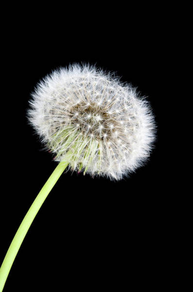 Taraxacum Photograph - Dandelion Seed Head (taraxacum Sp.) by Paul Whitehill/science Photo Library