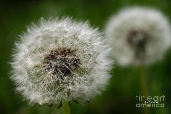 Photograph - Dandelion Seeds by E B Schmidt