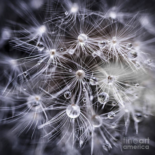 Taraxacum Photograph - Dandelion Seeds With Water Drops by Elena Elisseeva