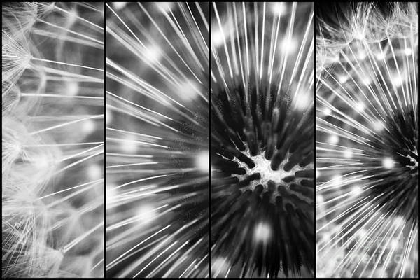 Photograph - Dandelion Sparkle Panels by John Rizzuto