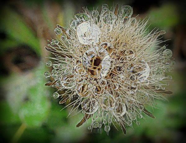 Photograph - Dandelion Sparkles by Suzy Piatt