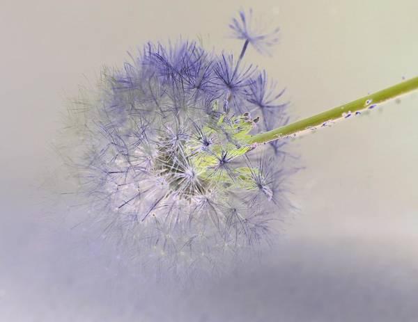 Photograph - Dandelion Study 1 by David Rich