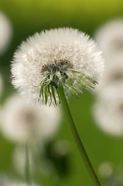 Taraxacum Photograph - Dandelion (taraxacum Officinale) by Dr. John Brackenbury/science Photo Library