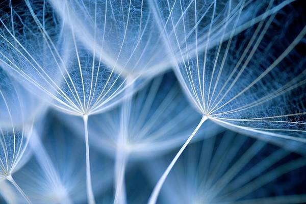 Wall Art - Photograph - Dandelion (taraxacum Officinale) Seeds by Dr Neil Overy/science Photo Library