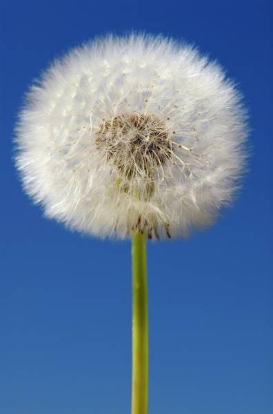 Asteraceae Photograph - Dandelion (taraxacum Sp.) Seed Head by Bildagentur-online/ohde/science Photo Library
