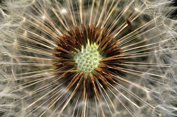Asteraceae Photograph - Dandelion (taraxacum Sp.) Seed Head by Colin Varndell/science Photo Library