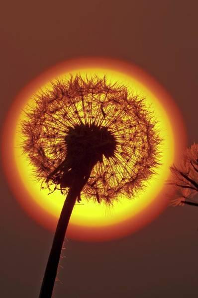 Asteraceae Photograph - Dandelion (taraxacum Sp.) Seed Head by Dr. John Brackenbury/science Photo Library