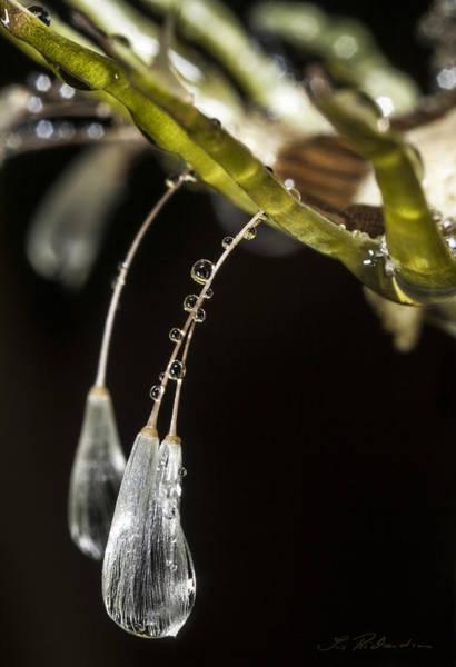 Ns Photograph - Dandelion Tears by Iris Richardson