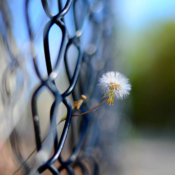 Chain Link Photograph - Dandelion Wish by Laura Fasulo