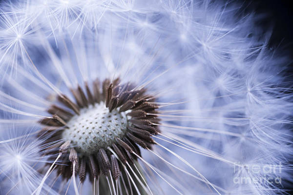 Seed Head Wall Art - Photograph - Dandelion With Seeds by Elena Elisseeva