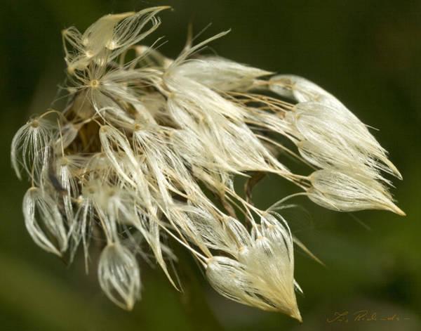 Ns Photograph - Dandelion's After Rain by Iris Richardson