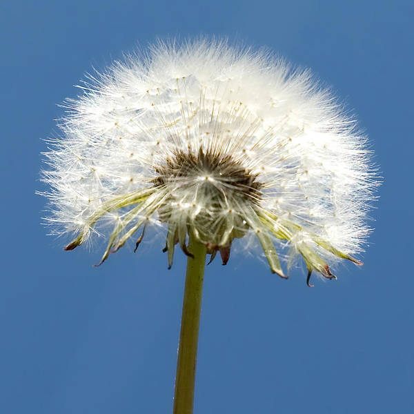 Photograph - Dandelions Are Beautiful by Denise Beverly