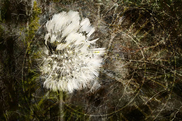 Photograph - Dandelions Don't Care About The Time by Belinda Greb