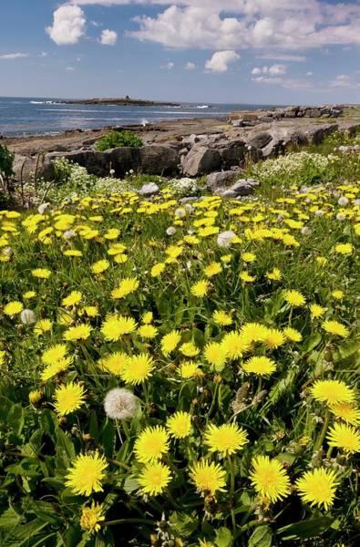 The Burren Photograph - Dandelions (taraxacum Officinale) by Bob Gibbons