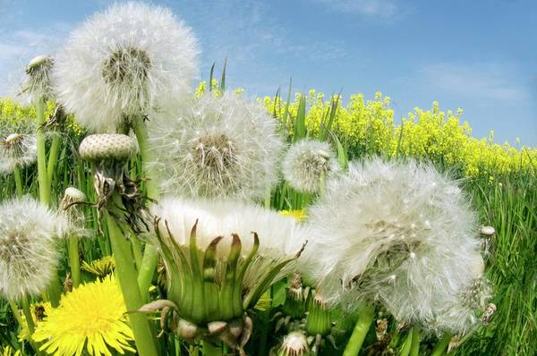 Taraxacum Photograph - Dandelions (taraxacum Officinale) by Dr. John Brackenbury/science Photo Library