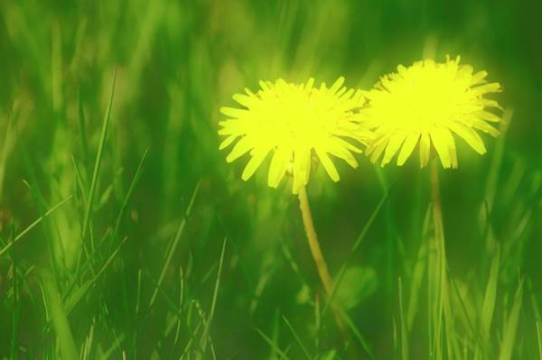 Taraxacum Photograph - Dandelions (taraxacum Officinale) by Maria Mosolova/science Photo Library