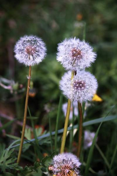 Taraxacum Photograph - Dandelions (taraxacum Vulgaris) by Brian Gadsby/science Photo Library