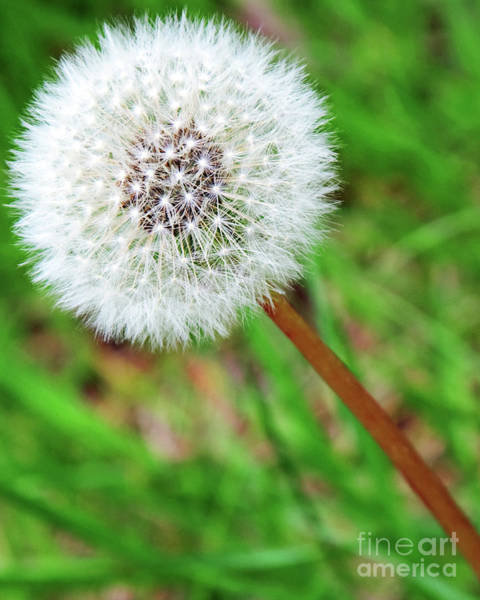 Dandelion Puff Photograph - Dandy The Lion  by Andee Design