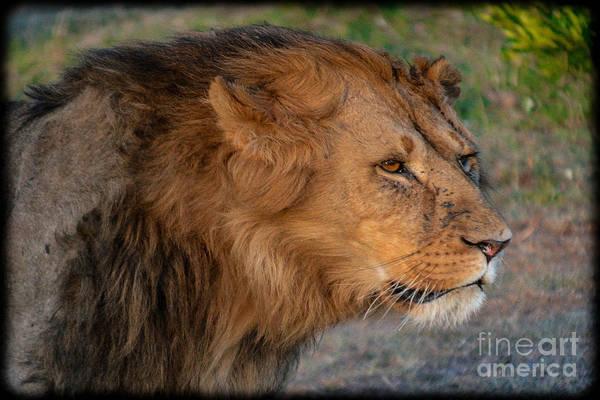 Photograph - Dangerous Lion by Gary Keesler