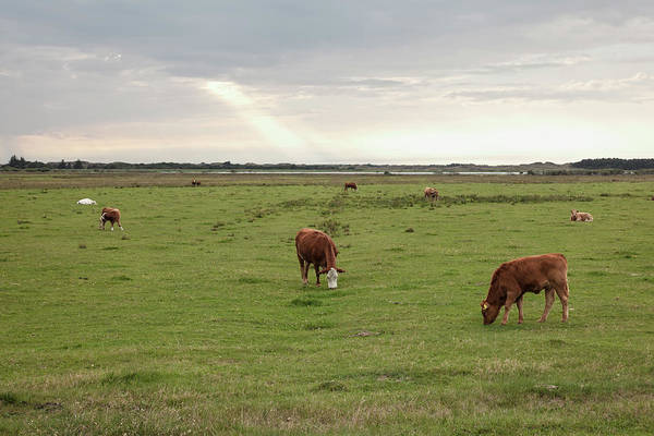 Cow Photograph - Danish Cows by Carstenbrandt