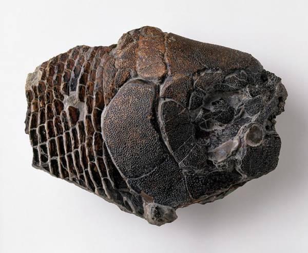 Extinct Photograph - Dapedium Skull by Dorling Kindersley/uig