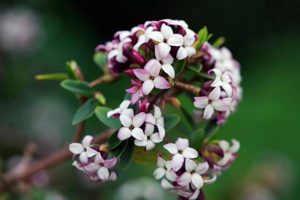 Scent Photograph - Daphne Tangutica by Sam K Tran/science Photo Library