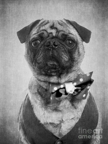 Pug Photograph - Dapper Dog by Edward Fielding