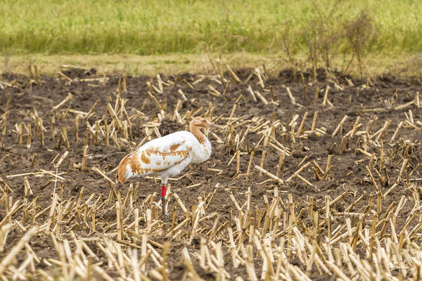 Photograph - Dar Whooping Crane by Thomas Young