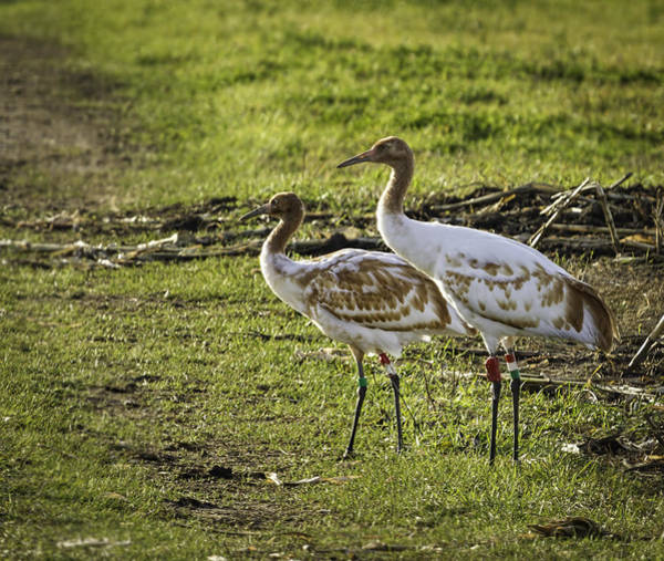 Horicon Wall Art - Photograph - Dar Whooping Cranes by Thomas Young
