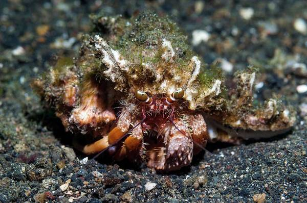 Hermit Wall Art - Photograph - Dardanus Hermit Crab by Georgette Douwma/science Photo Library