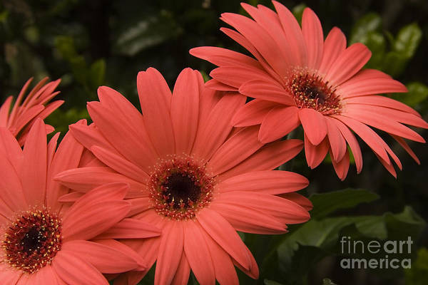 Photograph - Dark Coral Daisies by Jill Lang