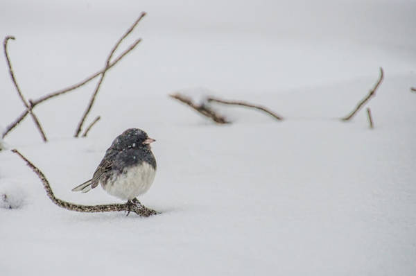 Photograph - Dark Eyed Junco During Snowfall by Beth Sawickie