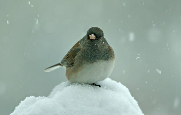 Wall Art - Photograph - Dark-eyed Junco In The Snow by Sandy Keeton