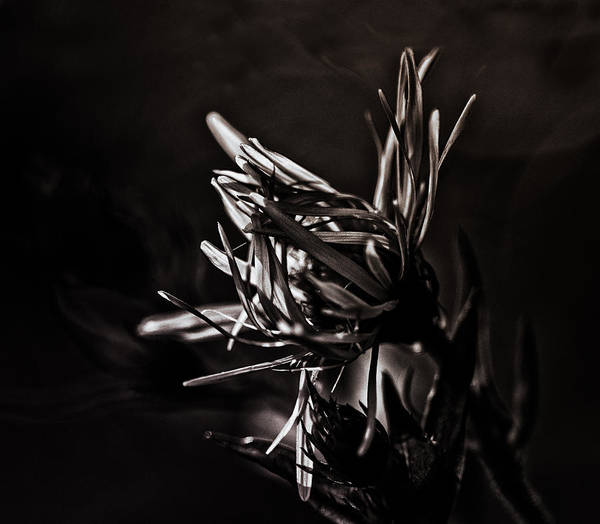 Aster Photograph - Dark Flower by Susan Capuano