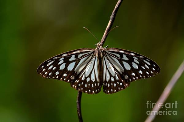 Photograph - Dark Glassy Tiger Butterfly On Branch by Imran Ahmed