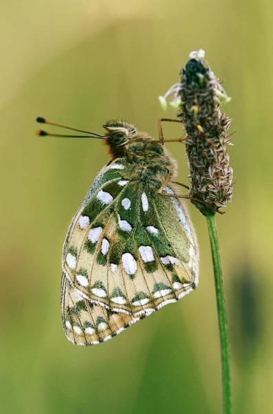 Fritillary Wall Art - Photograph - Dark Green Fritillary Butterfly by Colin Varndell