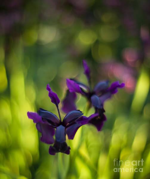 Iris Photograph - Dark Irises by Mike Reid