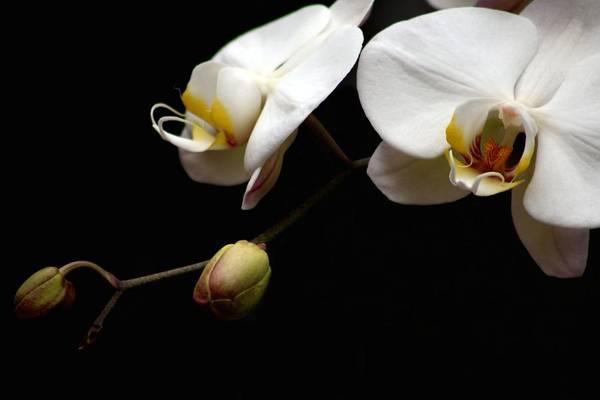 Photograph - Dark Orchid by Carol Montoya