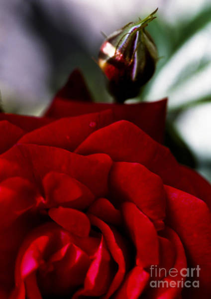 Rose Bud Photograph - Dark Passion by Jan Bickerton