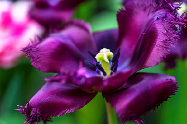 Queens Birthday Photograph - Dark Purple Parrot Tulip. The Tulips Of Holland by Jenny Rainbow