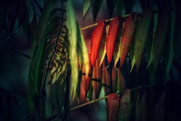 Photograph - Dark Walnut Leaves by Beth Akerman
