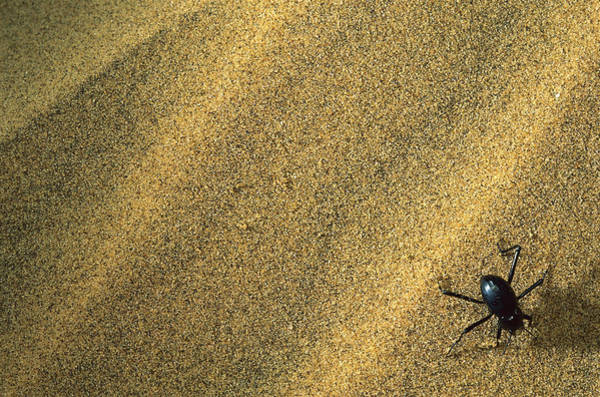 Tenebrionidae Wall Art - Photograph - Darkling Beetle Collecting Dew by Mark Moffett