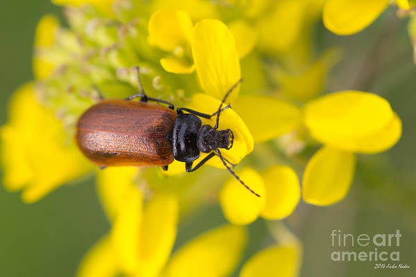 Tenebrionidae Wall Art - Photograph - Darkling Beetle by Jivko Nakev