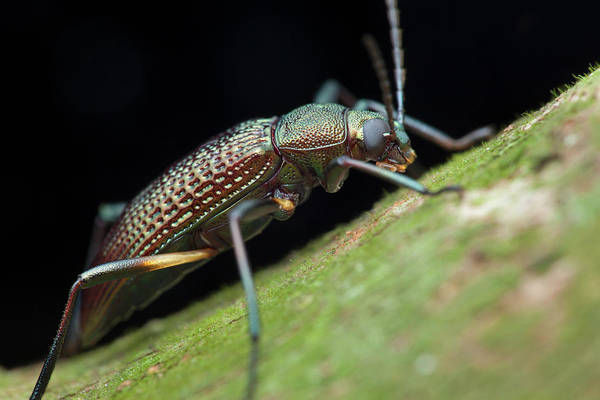 Tenebrionidae Wall Art - Photograph - Darkling Beetle by Melvyn Yeo/science Photo Library