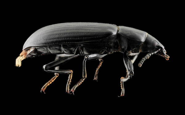 Image Stacking Photograph - Darkling Beetle by Us Geological Survey