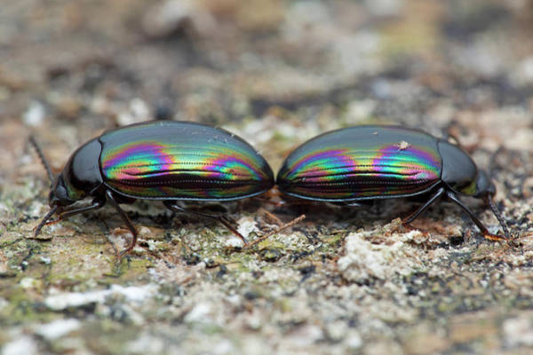 Tenebrionidae Wall Art - Photograph - Darkling Beetles by Melvyn Yeo/science Photo Library