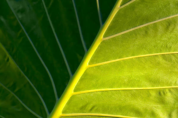 Photograph - Darkness And Light - Elephant Ear Leaf Details by Mark Tisdale