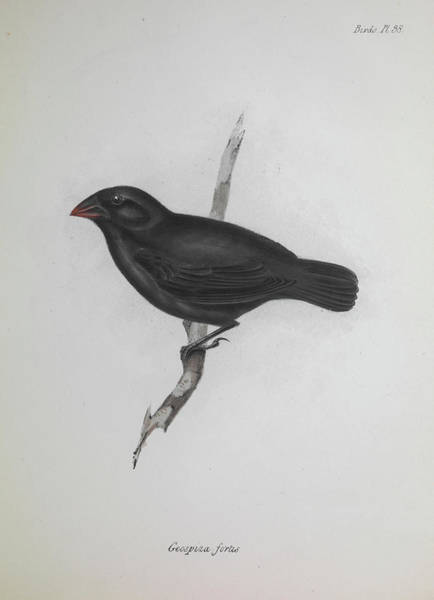 Finch Photograph - Darwin Finch by Natural History Museum, London/science Photo Library