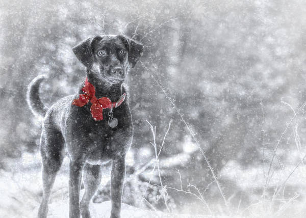 Lab Photograph - Dashing Through The Snow by Lori Deiter